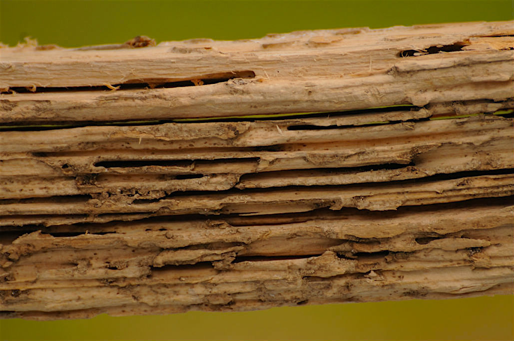 Timber beam that has termite damage.