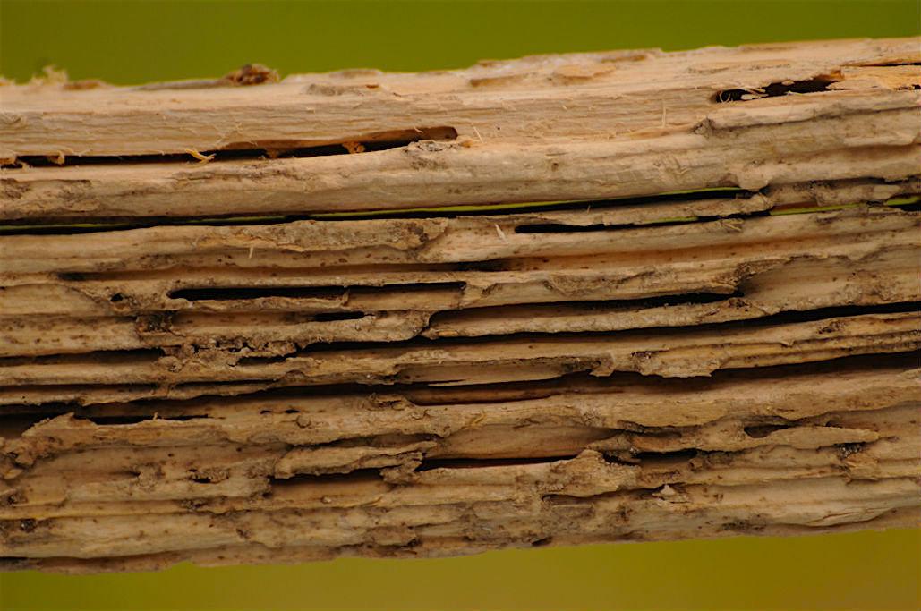 Timber beam that has termite damage.